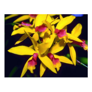 yellow Laelia flowers Postcard