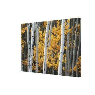 Yellow Leaves and White Tree Trunks Stretched Canvas Prints