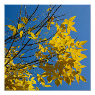 Yellow Leaves on Fall Tree