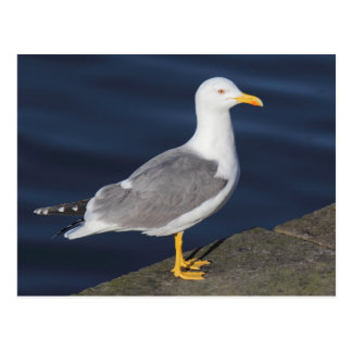 Yellow-Legged Gull Postcard