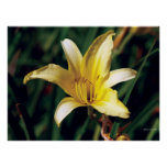 Yellow Lily With Spider Poster