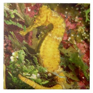 Yellow longsnout seahorse large square tile