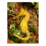 Yellow longsnout seahorse postcard