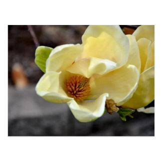 Yellow Magnolia Flower Postcard