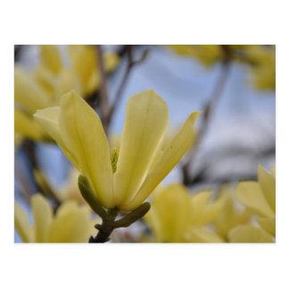 Yellow Magnolia Tree Postcard