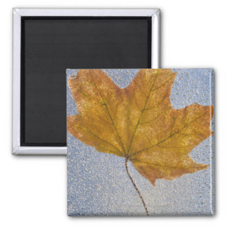 Yellow Maple Leaf Under Water Magnet