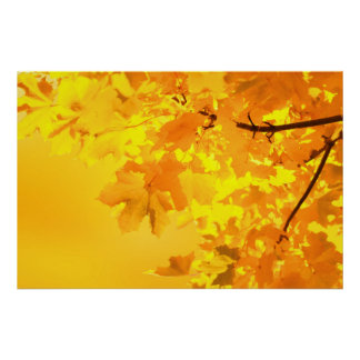 Yellow Maple Poster