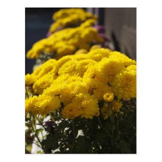 Yellow marigolds bask in sunlight postcard