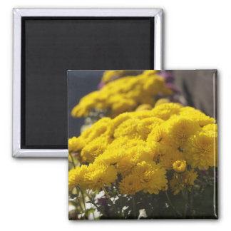 Yellow marigolds bask in sunlight square magnet
