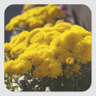 Yellow marigolds bask in sunlight square sticker
