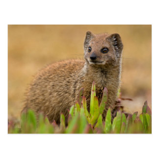 Yellow Mongoose Juvenile Amongst Figs, De Hoop Postcard