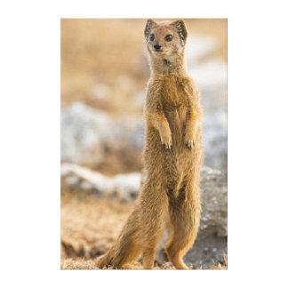 Yellow Mongoose Juvenile Standing At Den Canvas Print