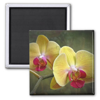 Yellow Moth Orchids - Phalaenopsis Magnet