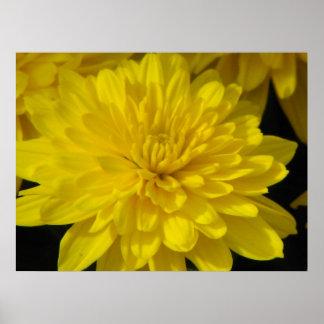 Yellow  Mum Poster