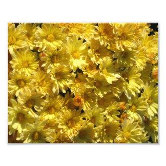 Yellow Mums Photo