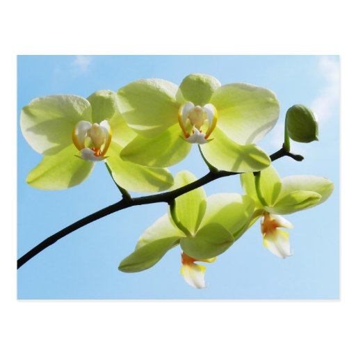 Yellow orchid - postcard