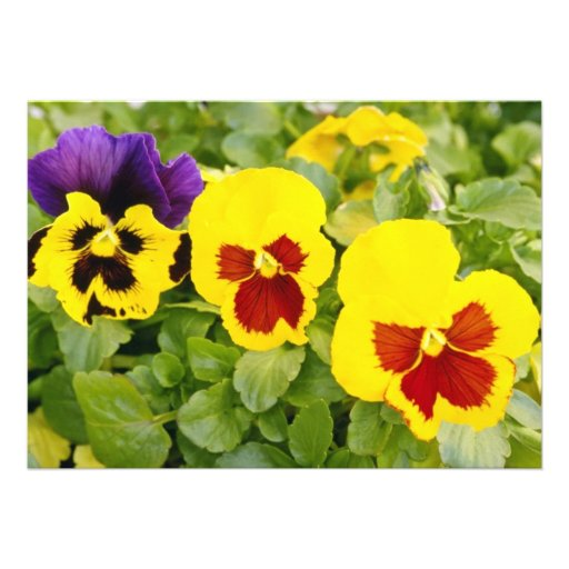 yellow Pansies flowers Personalized Announcements