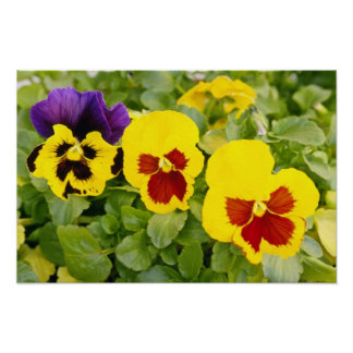 yellow Pansies flowers Poster