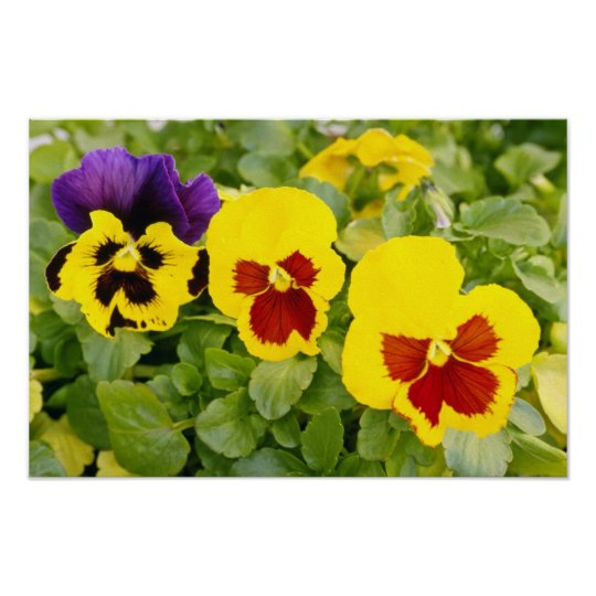 Yellow Pansies Flowers Poster Zazzle