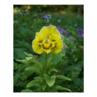 Yellow Pansy 3 Poster