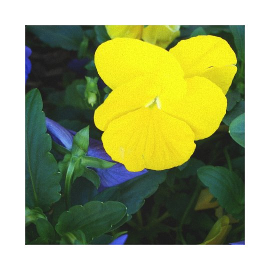 Yellow Pansy Spring Flowers Floral Canvas Art