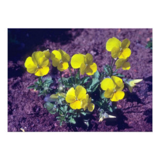 yellow Pansy Viola flowers Personalized Invitations