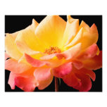 Yellow Pink Rose Flower Black Background Floral