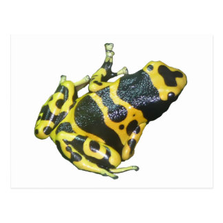 Yellow Poison Dart Arrow Frog isolated Post Card