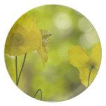 Yellow Poppies Photo