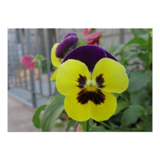 Yellow Purple Pansies Flowers Poster