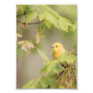 Yellow Ray Of Sunshine - Yellow Warbler Bird Photo Print