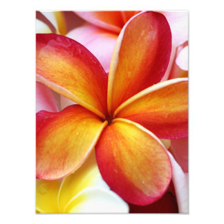 Yellow Red Plumeria Frangipani Hawaii Flowers Photo Print