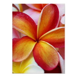 Yellow Red Plumeria Frangipani Hawaii Flowers Poster
