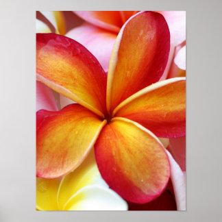 Yellow Red Plumeria Frangipani Hawaii Flowers Poster