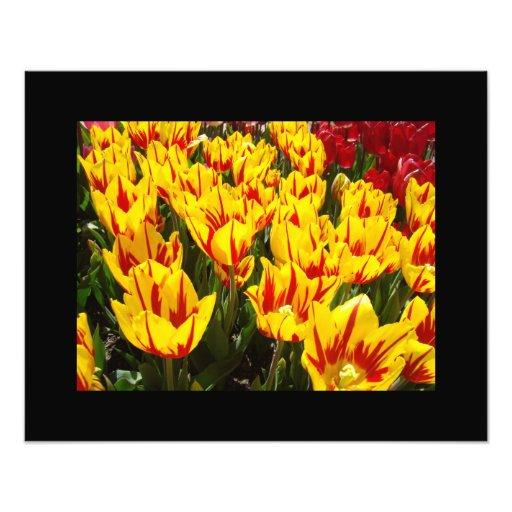 Yellow Red Tulip Flowers Garden Fine Art Prints Photo