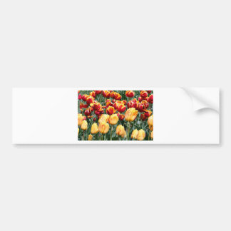 Yellow red Tulip flowers in bloom 5 Bumper Sticker