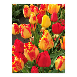 Yellow & Red Tulips Postcard