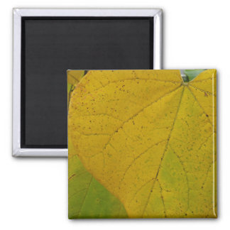 Yellow Redbud Leaves Autumn Nature Photography Square Magnet