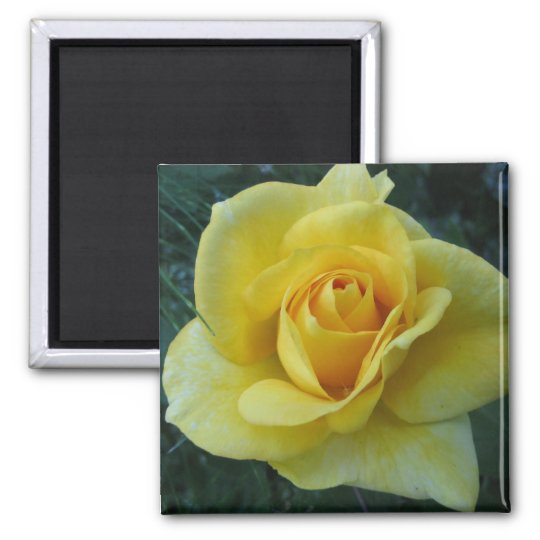 Yellow Rose2 Magnet