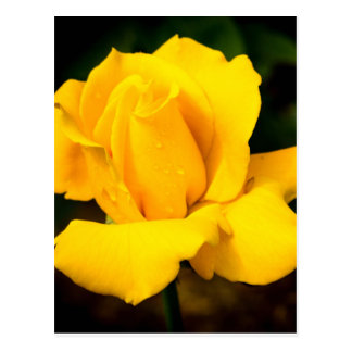 Yellow Rose - After the Rain Postcard