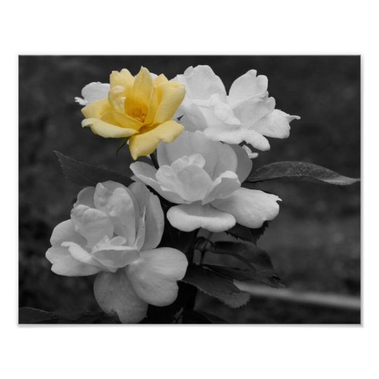 Yellow Rose Cluster Black And White Flower Poster