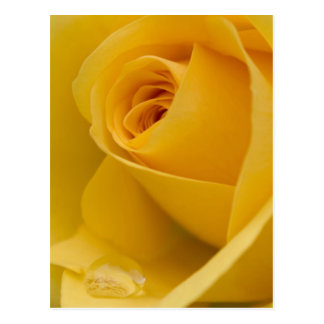 Yellow Rose Flower Postcard