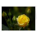 yellow rose greeting cards
