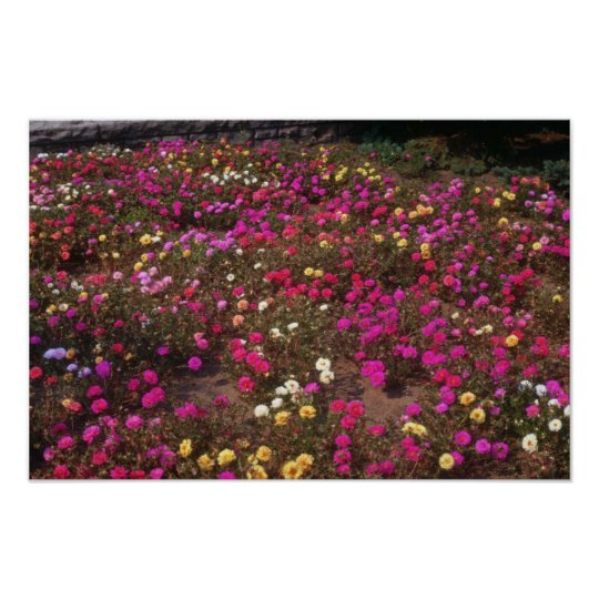 yellow Rose Moss (Portulaca Grandiflora) flowers Poster