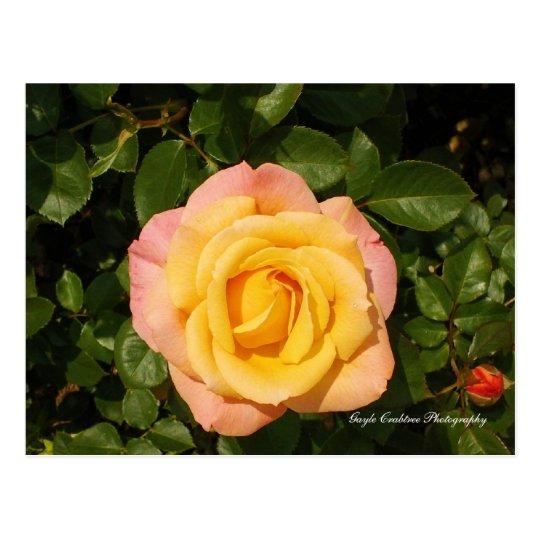 Yellow rose of Lake Junaluska Postcard