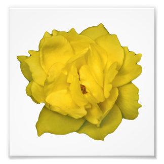Yellow Rose Photo Print