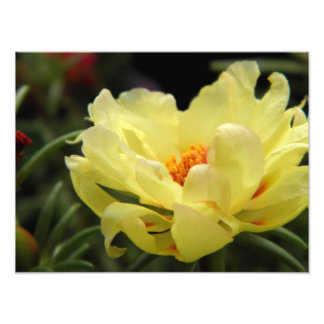 Yellow Rose Photography Photo Print