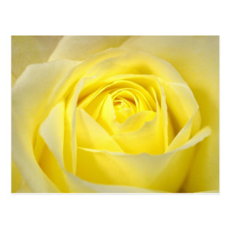 Yellow Rose Postcard