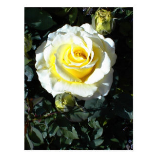 Yellow Rose With Three Buds Cards Postcard