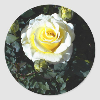 Yellow Rose With Three Buds Cards Round Sticker